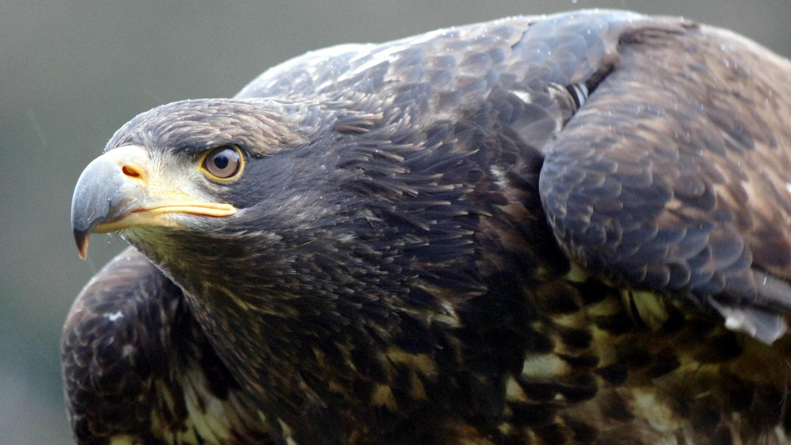 عقاب های دم سفید به انگلیس برمی گردند – کلیک – اخبار کودکان – اخبار